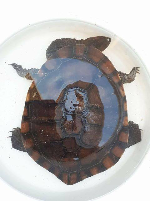 Adelaide Lost or Found Turtles Rescued Tortoises in Adelaide